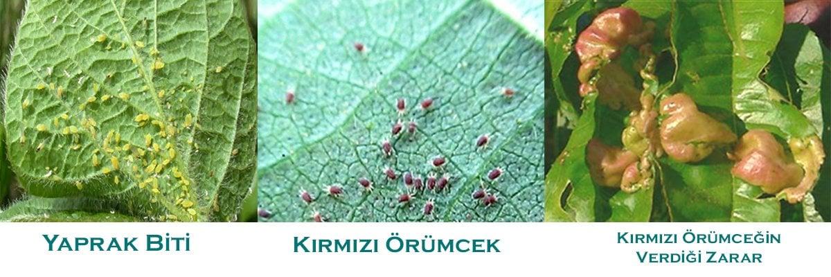 Limonda Kırmızı Örümcek Yaprak Biti